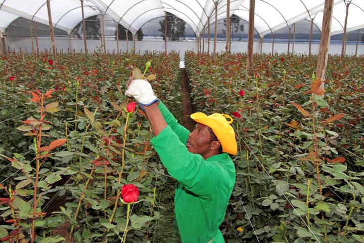 Выращивание роз в теплице на продажу бизнеса